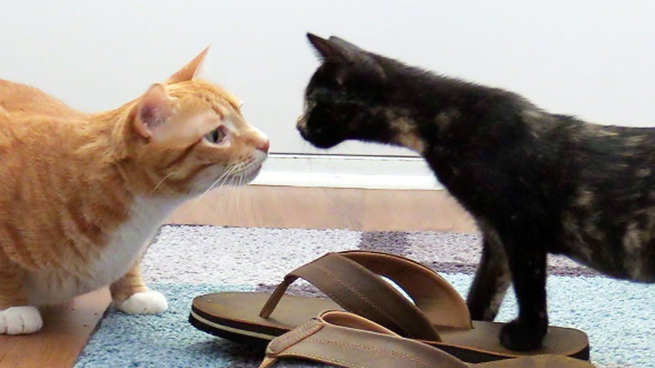 Introducing Cats To New Kittens For The First Time Cats Kittens How To Introduce Cats