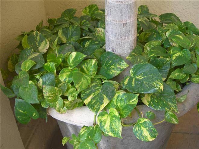 boa una hermosa y resistente planta de interior