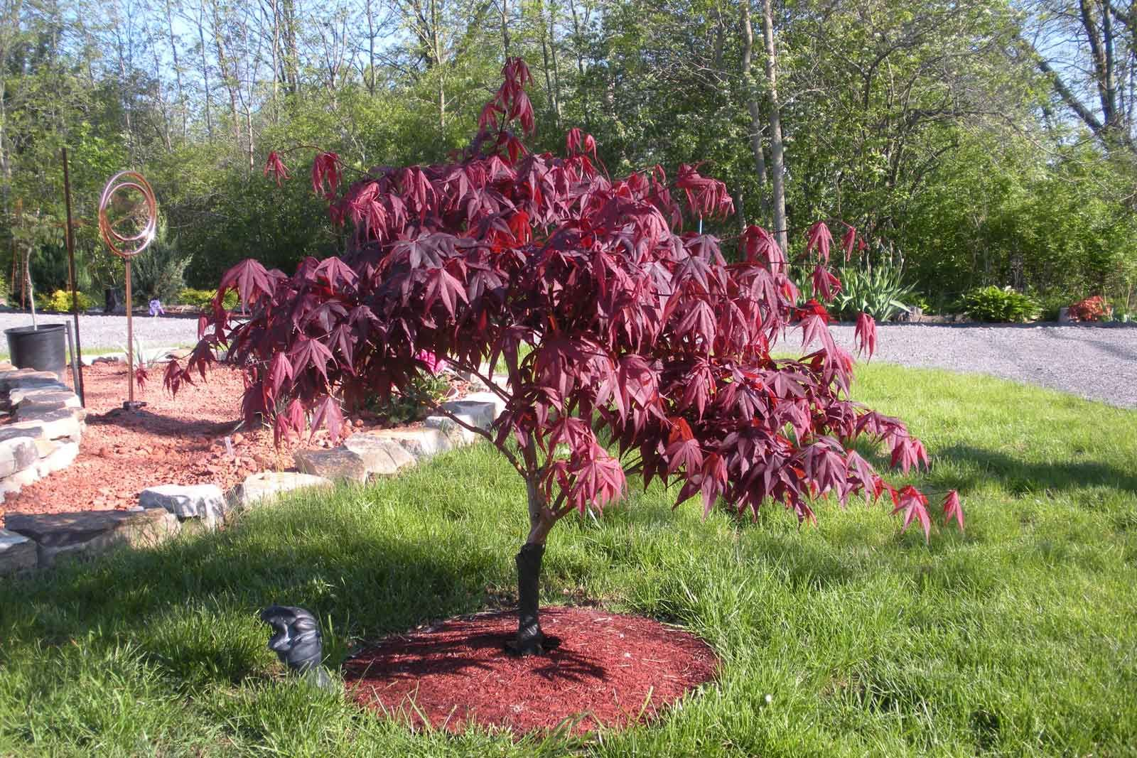 Bloodgood japanese maple texas gardening pinterest for Japanese trees for landscaping