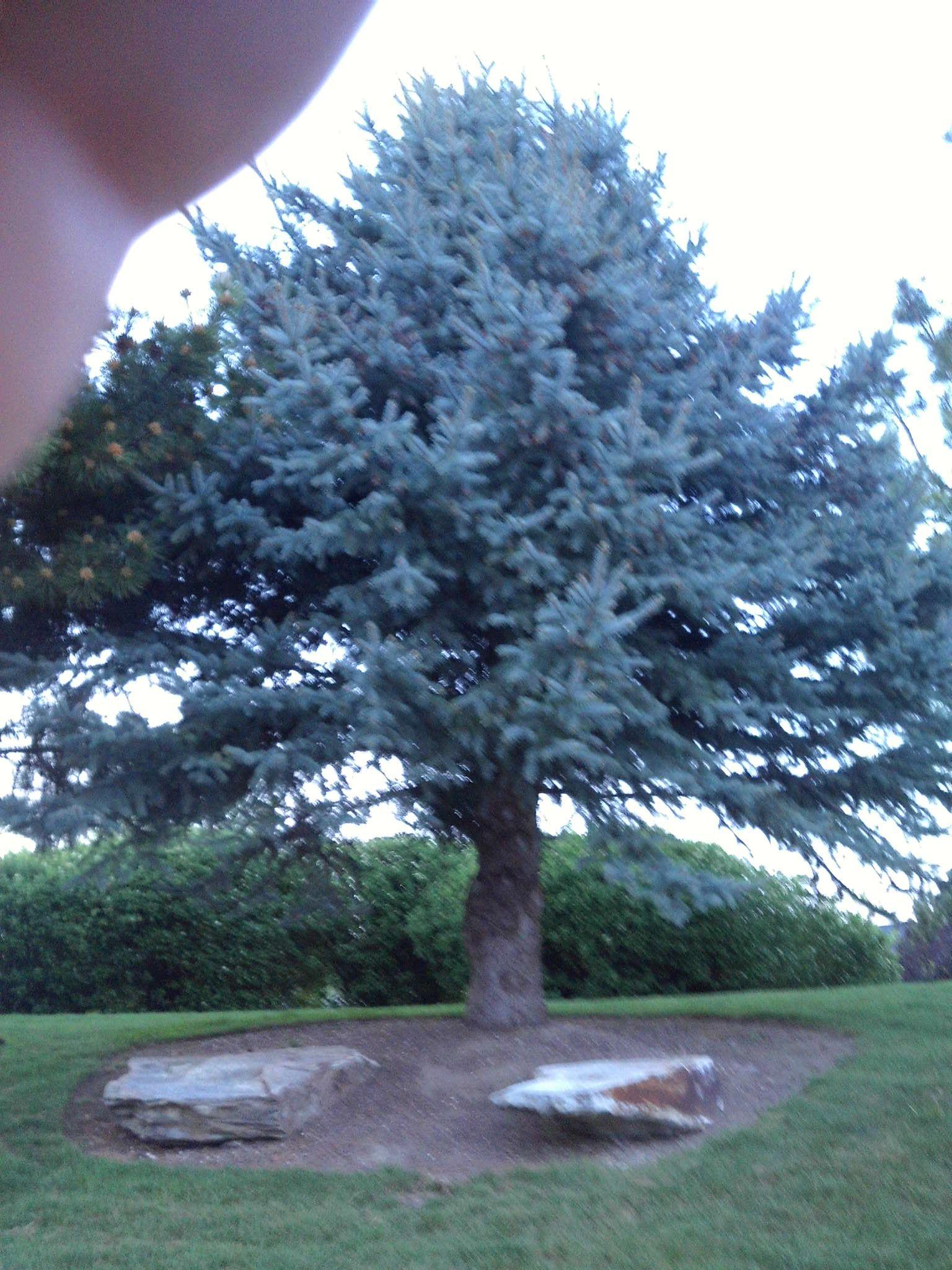 PT NAMPA IDAHO. PINE TREE MAY 15   Nampa