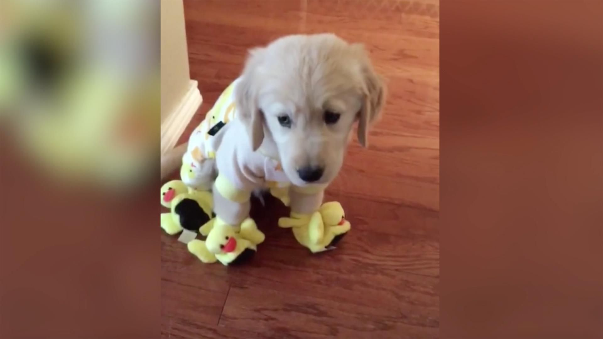 This Adorable Golden Retriever In Duck Pajamas And Slippers Will