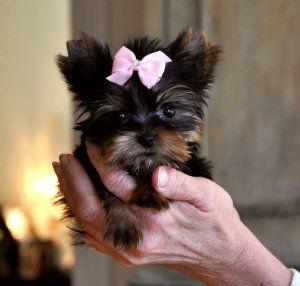 Tiny Minnie Yorkie Puppy Teacup Yorkie Puppy Teacup Yorkie