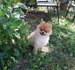 I See You Pomeranian Sheltie Dogs
