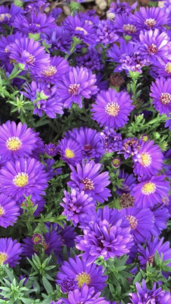 Aster Flower In 2020 Aster Flower Flowers For Sale White Flower Arrangements