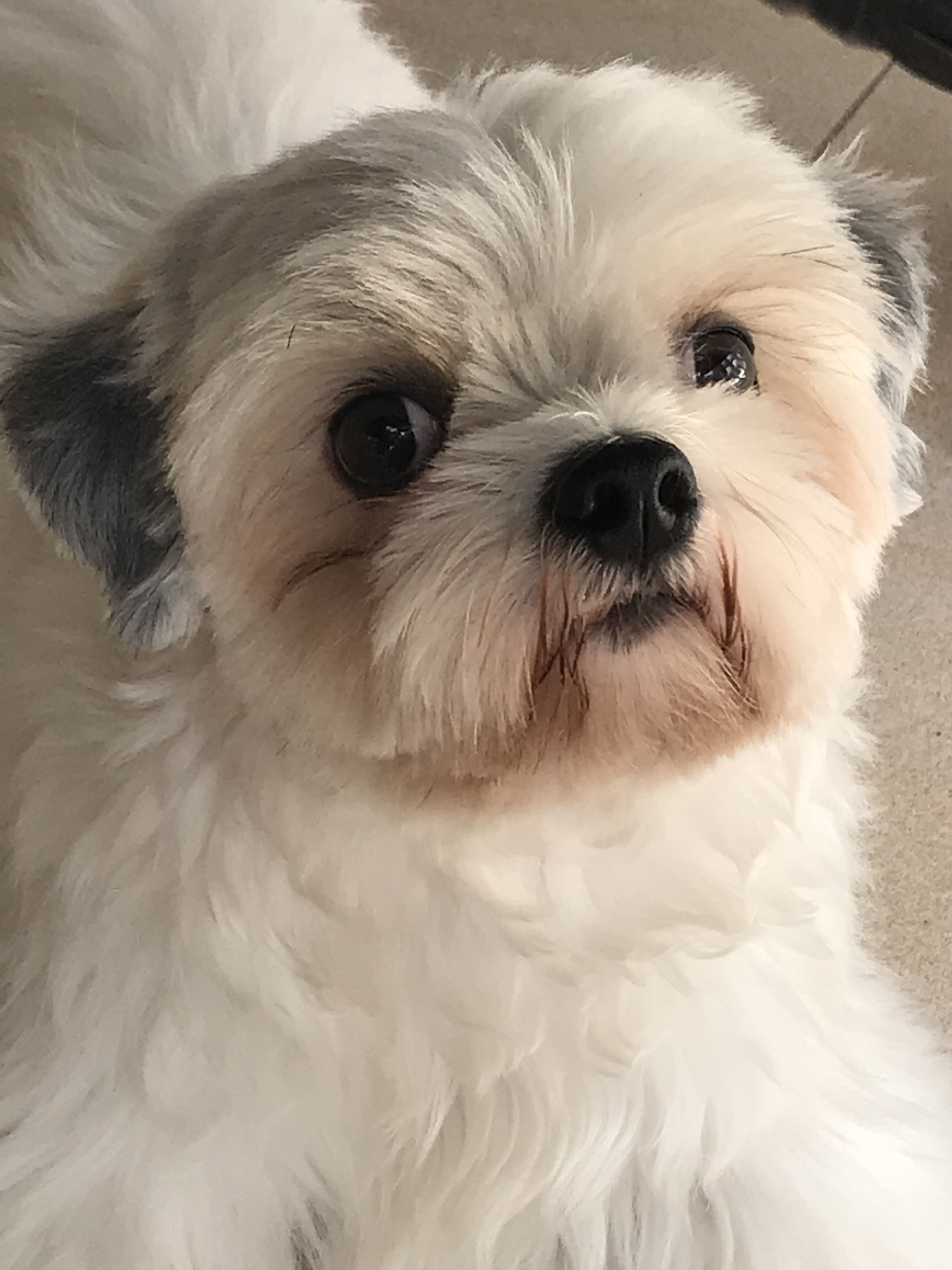 Pin By Naomi Soriano On Shih Tzu West Highland Terrier Shih Tzu