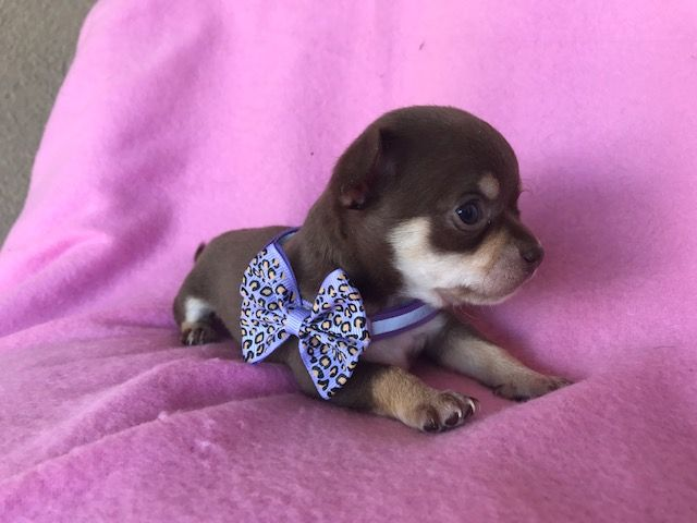 Pin By Teacups Puppies Boutique On Teacup Chihuahuas And Chihuahua Puppies Chihuahua Puppies Teacup Chihuahua Puppies Chihuahua Dogs