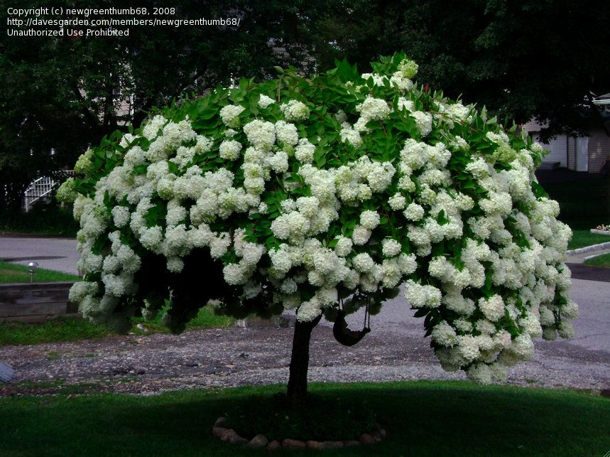Photo Of Panicle Hydrangea Tree Phantom Paniculata