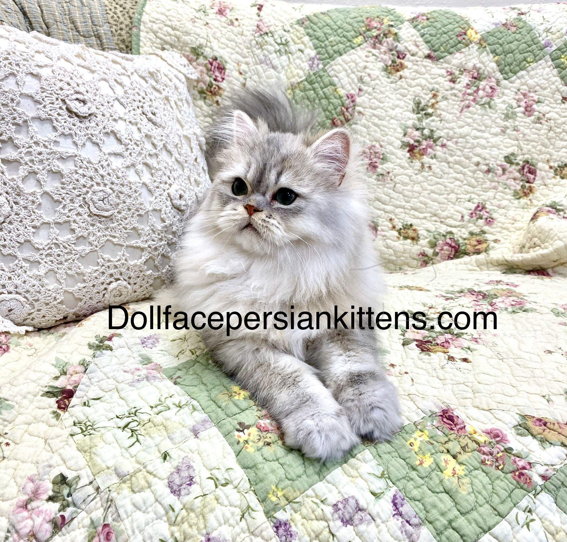 Pin By Joan On Blue Silver Tabby Kittens Persian Kittens Kittens Cutest Kitten Pictures