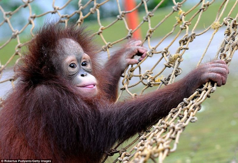 Cute Alert! Adorable Orangutan Brothers Released Back Into