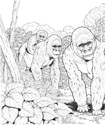 Three Gorillas In Forest Coloring Page Gif 442 525 Forest Coloring Pages Animal Coloring Pages Coloring Pages