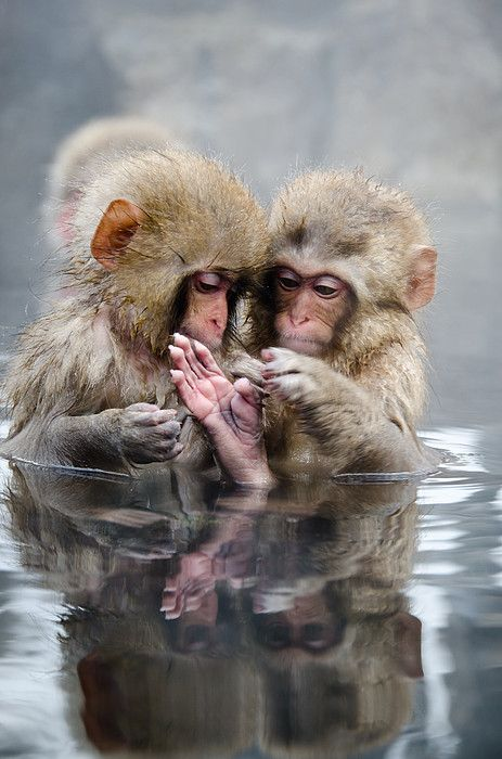 """...this little piggy went to market and this one stayed home..."" -- Little Monkeys in hot spring_ Japan"