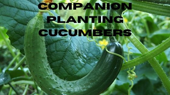 Companion Planting Cucumbers is part of Companion planting, Growing cucumbers, Growing beans, Cucumber plant, How to grow dill, Growing lettuce - There are not many plants that don't benefit from companion planting, which is another way of saying inter cropping  By companion planting cucumbers you will get less plant damage, healthier plants, and heavier crops  How Does Companion Planting Cucumbers Work  In some cases companion planting works by saving space, growing two or more plants that have the same requirements allows them all to grow successfully  Some plants will deter pests away from your cucumber plants, and some will attract beneficial pollinators  Whilst others will actually improve the health of your plants  Companion Planting Cucumbers Let's get started with the good    → Read More