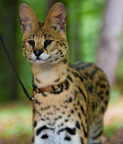Can You Domesticate An African Wild Cat