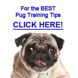 Pug Personality Pugs Pug Training Personality
