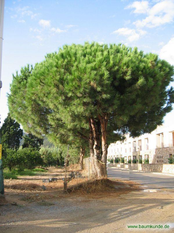 Pinie Pinus Pinea Habitus Bestimmen Pinie Pinie Pflanzen Baumkunde