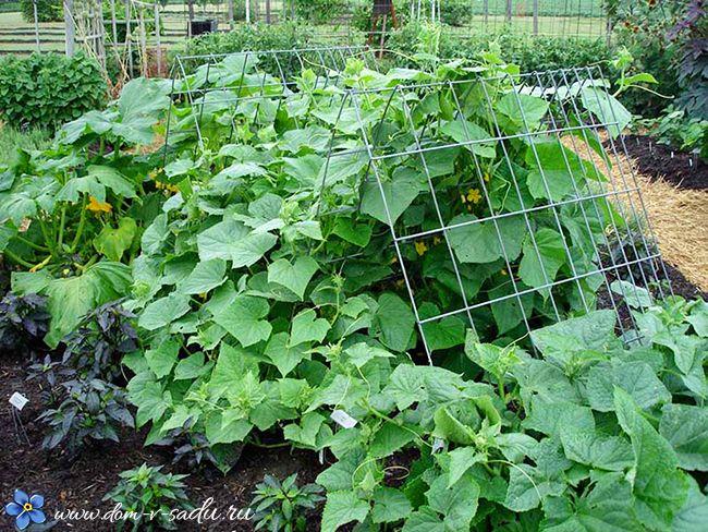 как вырастить огурцы в июле