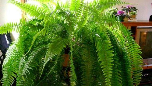 9 zimmerpflanzen welche die luft reinigen und fast unm glich sind um zu t ten diese pflanze. Black Bedroom Furniture Sets. Home Design Ideas