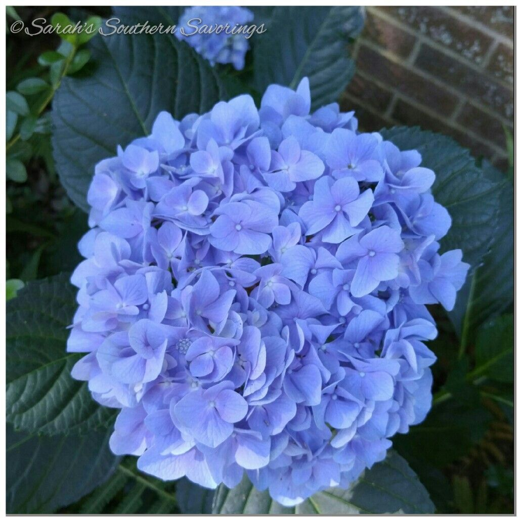 Beautiful blue hydrangea growing in front of my house. First sign spring is coming to an end and summer is near.