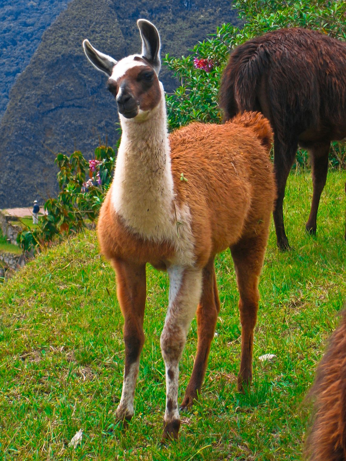 llama spirit: following your heart and carrying your load through any situation