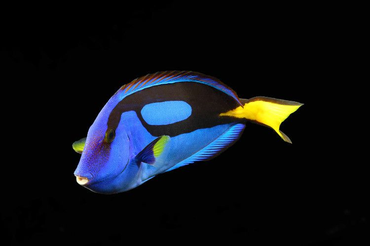 Palette Surgeonfish T Shirt A Popular Fish In Marine Aquarium A Number Of Common Names Are Attributed To The Species Fish Wallpaper Yellow Fish Marine Fish