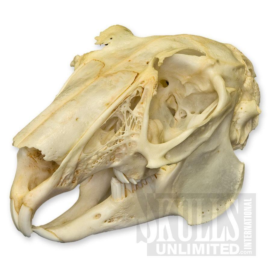 European Rabbit hare | Rabbit (Various species sp.) | Skulls ...
