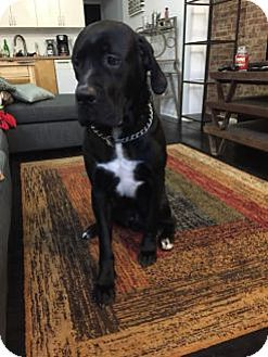 Baden Pa Great Dane Mastiff Mix Meet Charlie A Dog For