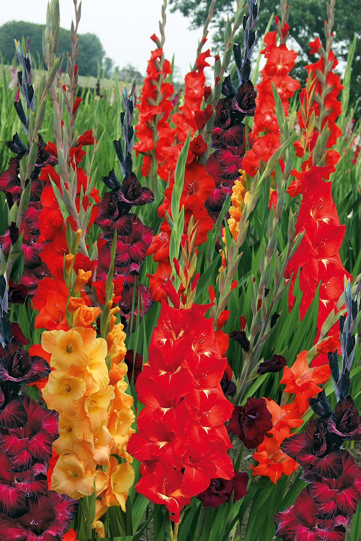 Blumenzwiebel Floraself Grossblumige Gladiole Buccaco 7 Stk Bei Hornbach Kaufen In 2020 Gladiolen Blumenzwiebeln Blumen Pflanzen