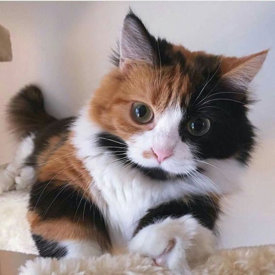 Calicos are loving and lively. In oldworld Japan, they