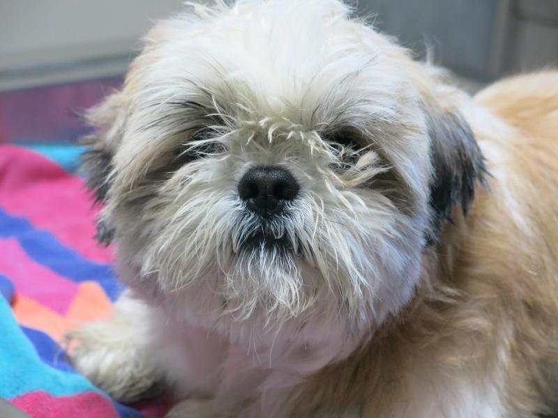 Adopt Bobo On Animal Shelter Pekingese Animals