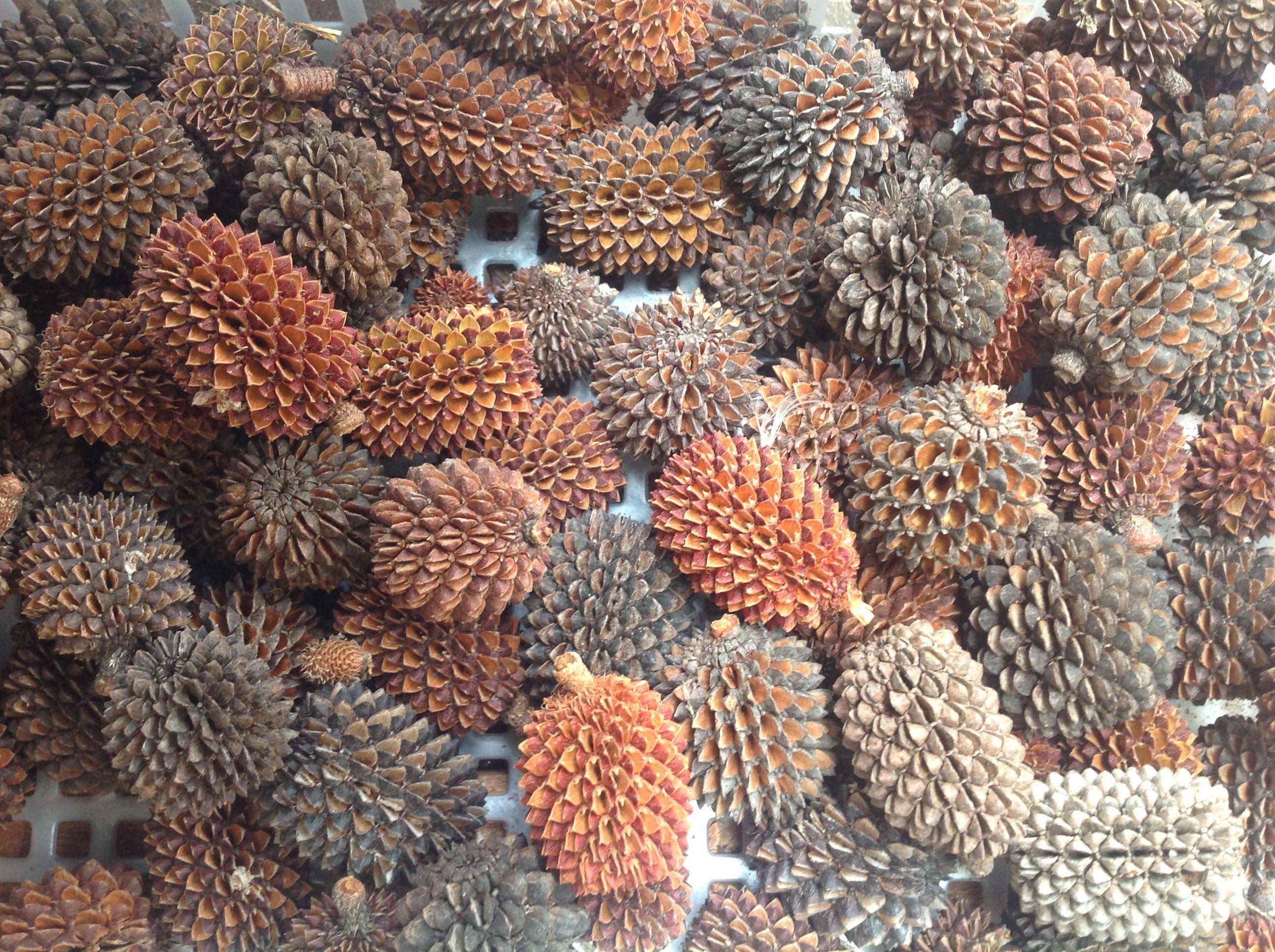 sheoak pods Seed pods, Australian native flowers, Seed