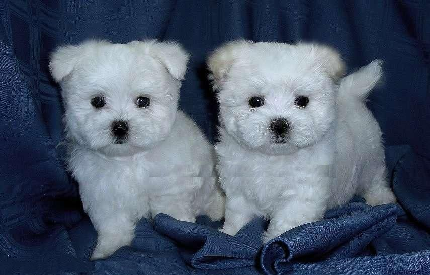 Cute Puppy Dogs Teacup Maltese Puppies Funny puppy