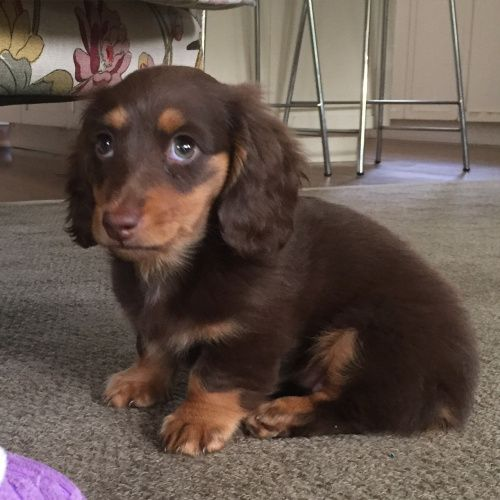 Coco At 10 Weeks A Long Haired Miniature Dachshund Long Haired