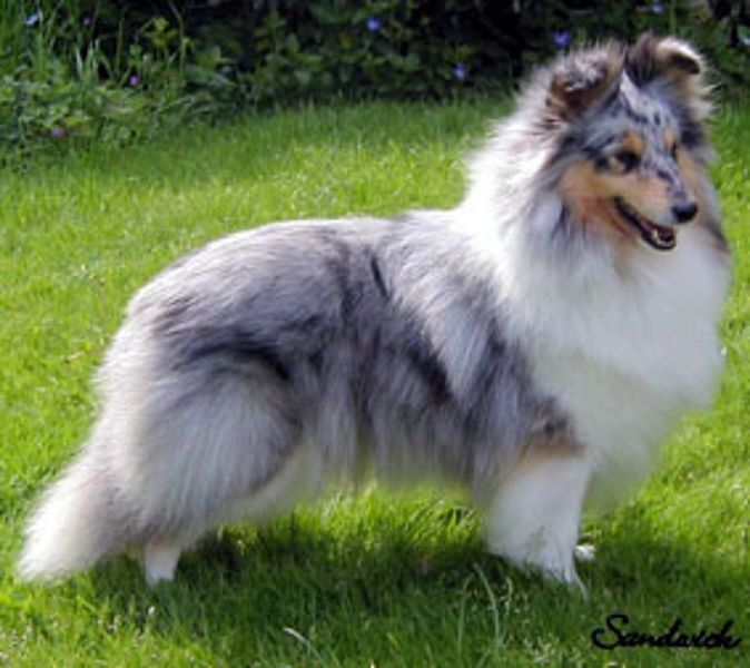 shetland sheepdog Der Sheltie (Shetland Sheepdog
