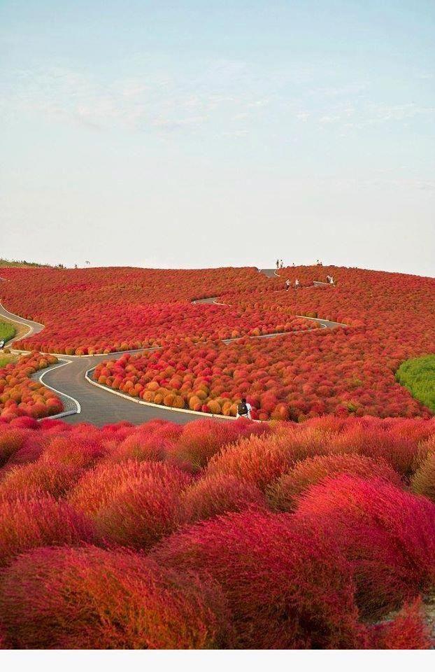 Red Kochi in Japan