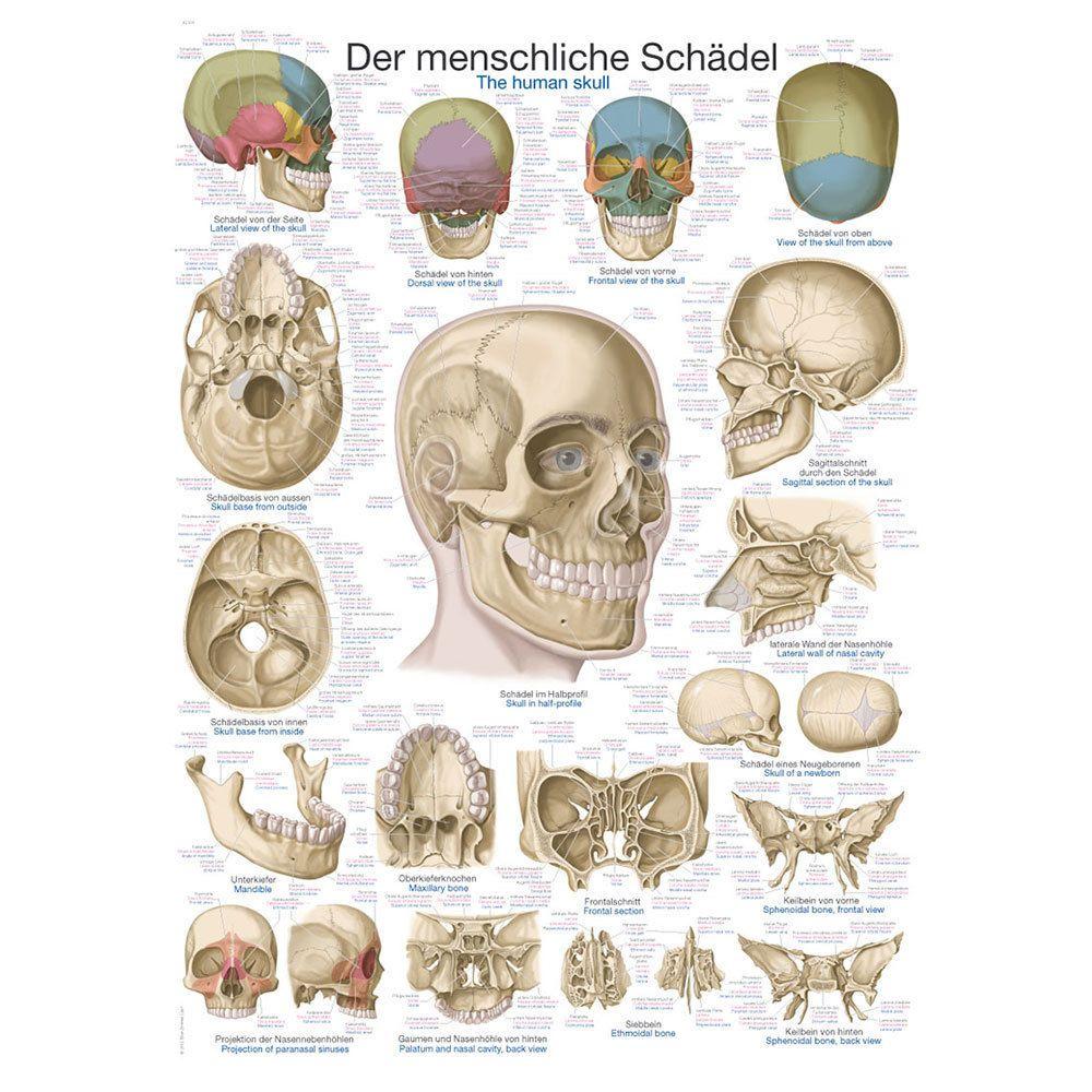 """Anatomische Lehrtafel """"Der Schädel"""" 70x100 cm Ausbildung Medizin ..."""