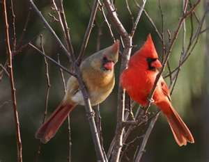 Cardinals Female And Male Backyard Birds Beautiful Birds