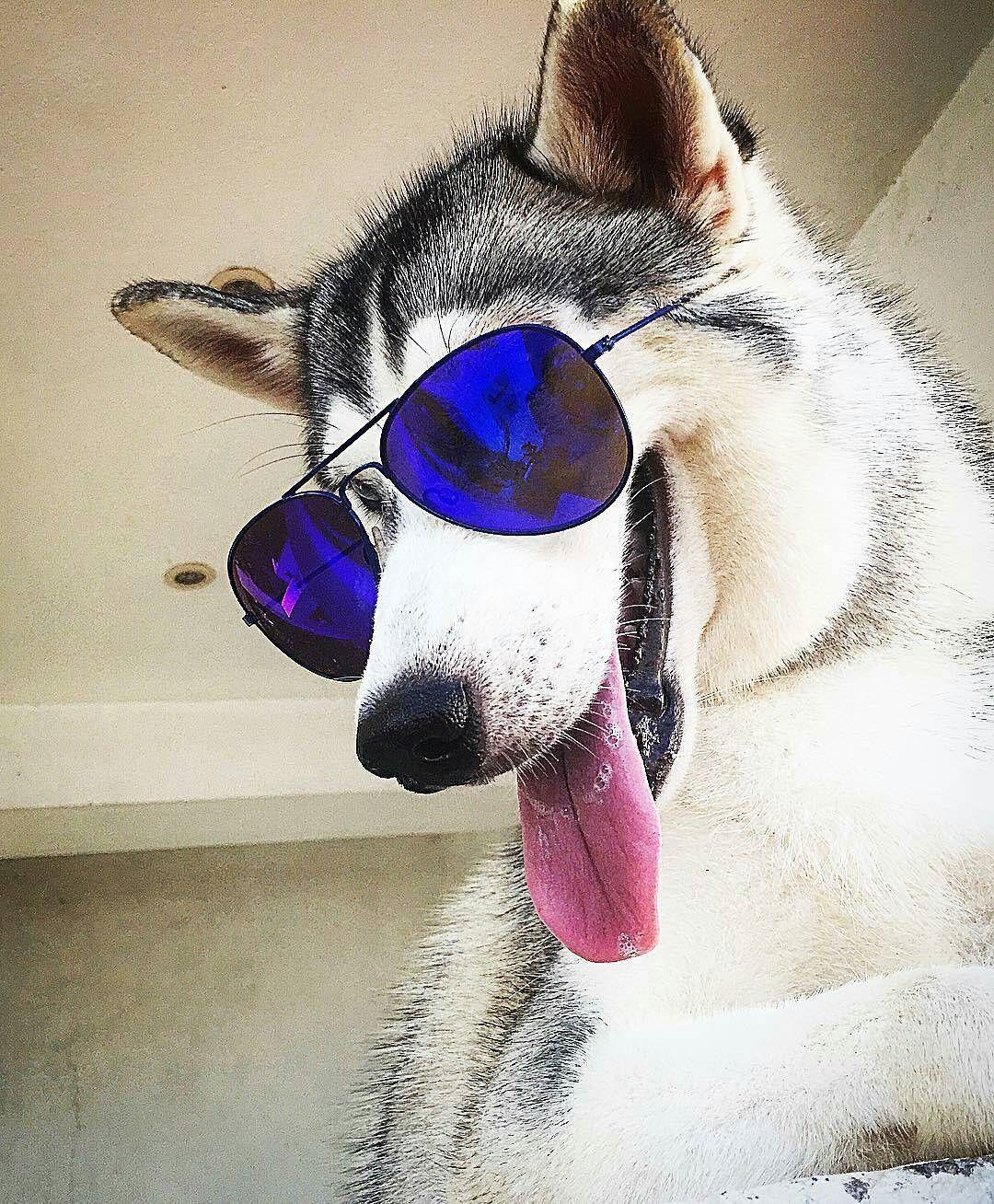 34b1d27e964 Pin by GitanaYoSoy on Siberian Huskies. My true passion ! | Dogs ...