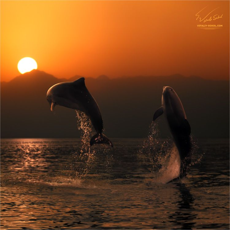 Great ! Dolphins jump