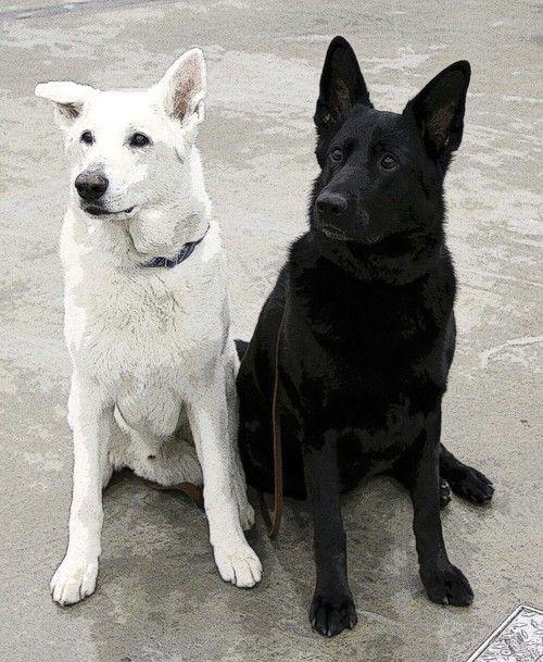 Black White German Shepherd Mit Bildern Weisser Schaferhund