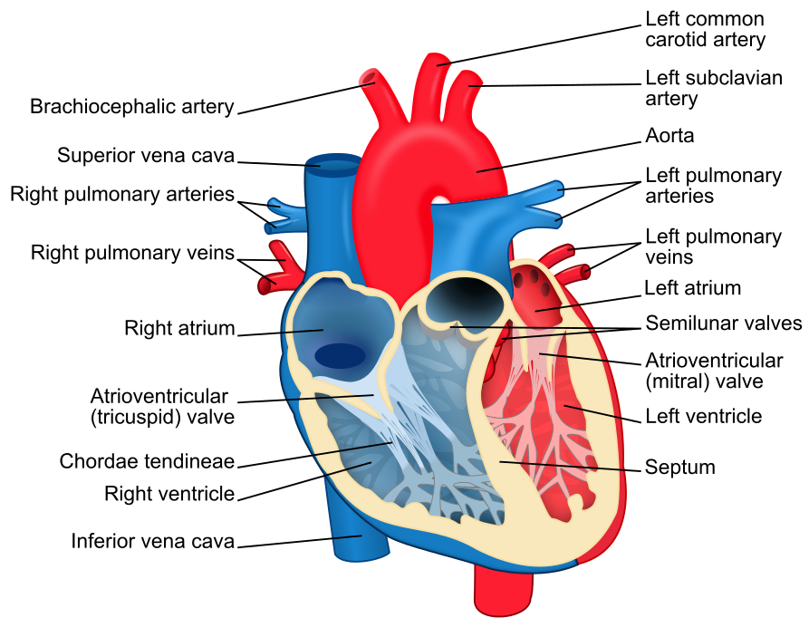 Heart diagram with labels in English. Blue components indicate de ...