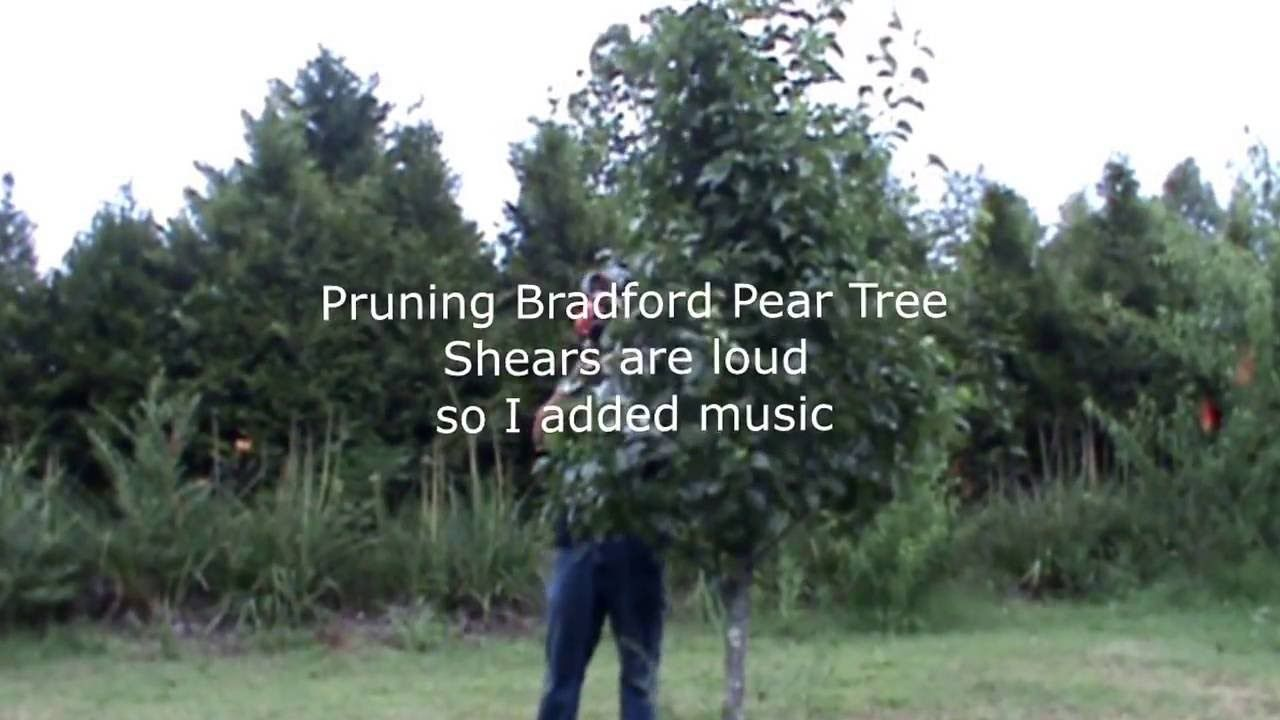 Tree T Bradford Pear Gas Shears Video By Soaps N Suds Such