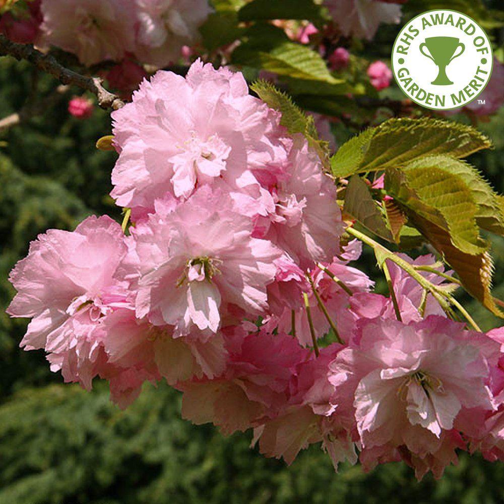 prunus pink perfection flowering cherry blossom tree. Black Bedroom Furniture Sets. Home Design Ideas