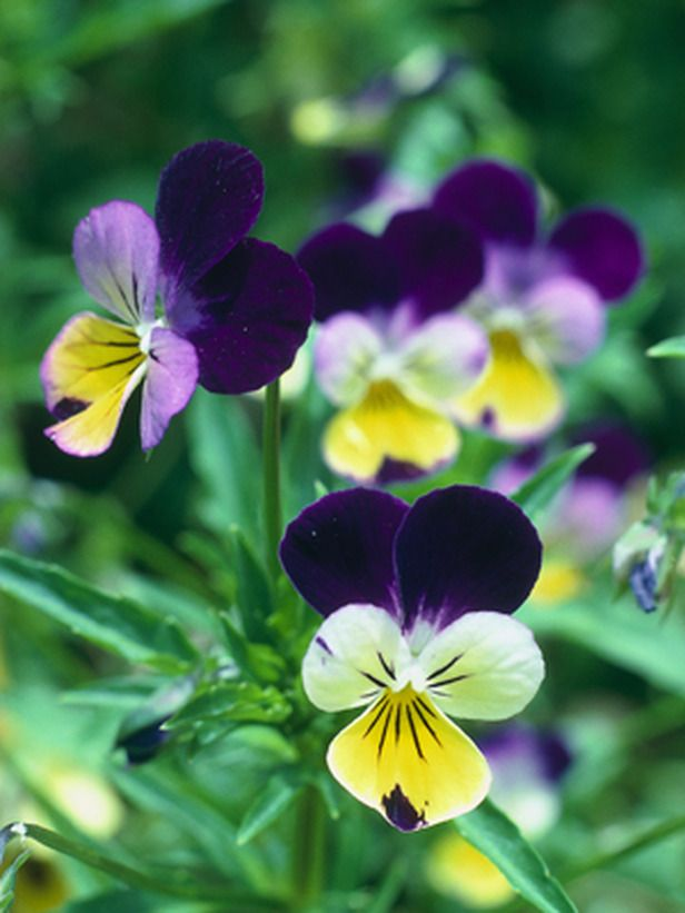 Edible Flowers Outdoors Home Garden Television Pansies Flowers Cold Weather Flowers Edible Flowers