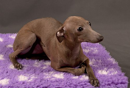 Lovely Chocolate Color Italian Greyhound Dog Expressions Greyhound Puppy