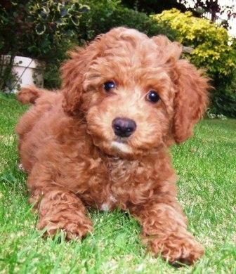 Labradoodle Breeders Labradoodle Puppies For Sale Labradoodle Puppy Labradoodle Puppies For Sale Labradoodle Breeders