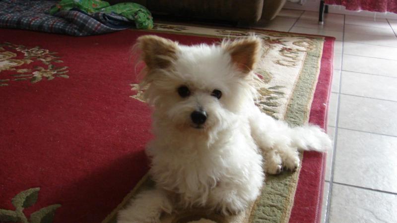 Adopt Aj On Petfinder Bichon Frise Dogs Bichon Frise Bichon