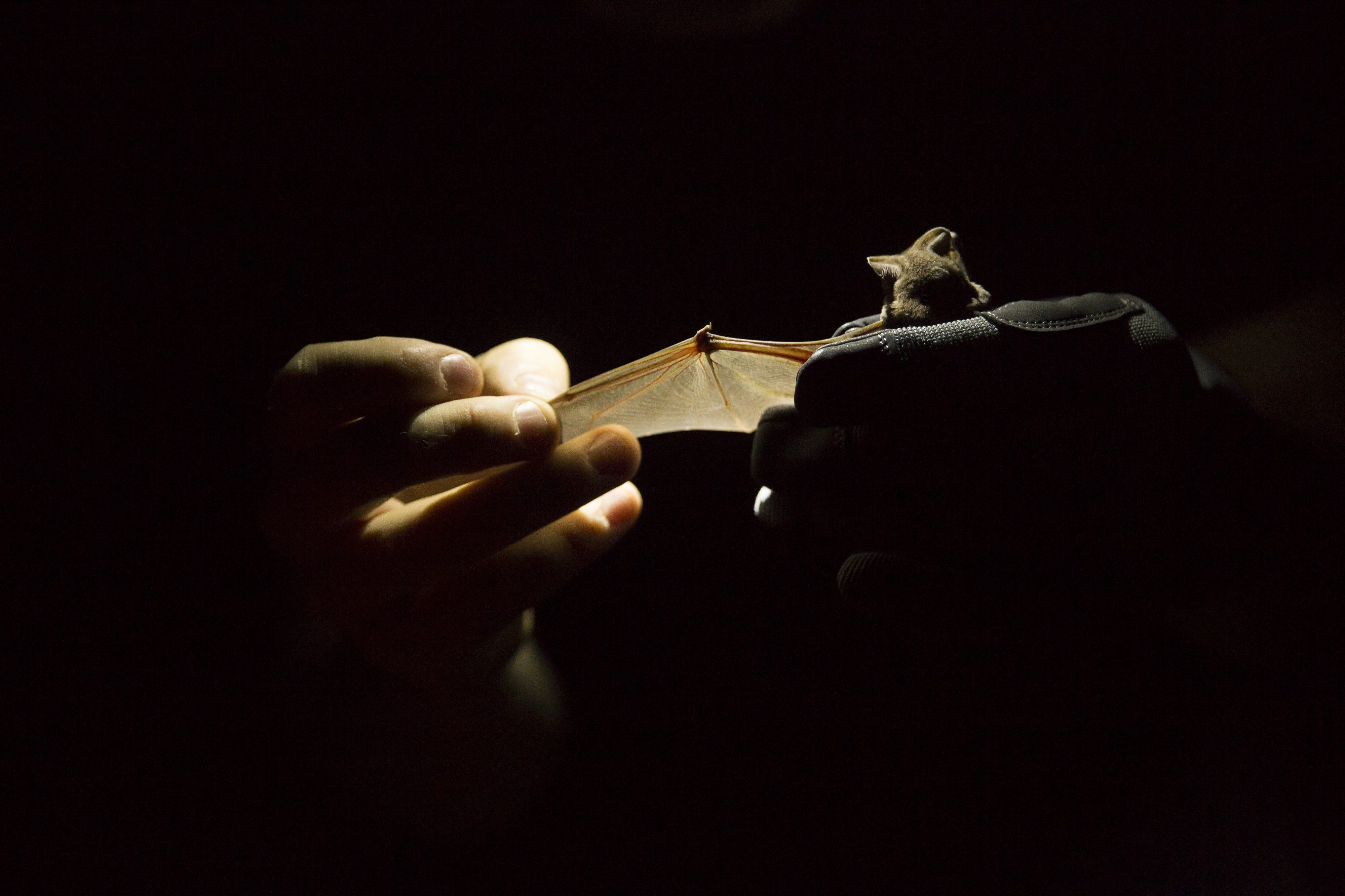 For Wintering Bats To Sleep or to Migrate? Wildlife