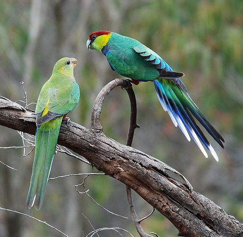 A Pair Of Red Capped Parrots Albany Wa Parrot Australian Parrots Best Pet Birds