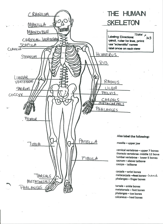 Human Skeleton Diagram Without Labels Human Skeleton