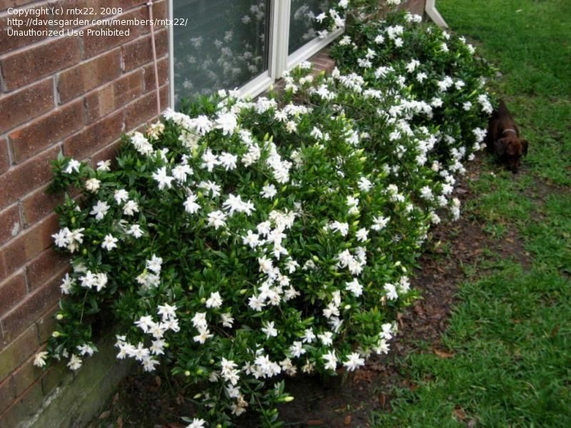 Gardenia Jasminoides Radicans Front Bed Or Under Master Bedroom